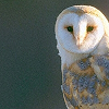 lady_songsmith: owl (smarter)