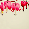 rivendellrose: (bleeding heart)