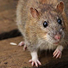 stheno: A curious-looking brown rat with one paw raised. ([critters] friend rat)