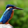 luvlani: (kingfisher)