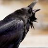 feralkiss: Raven calling. (r_call)