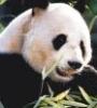 fajrdrako: ([Panda])
