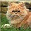 damigella: light brown Persian cat (cat)