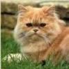 damigella: light brown Persian cat (cat)