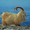 marcicat: (kashmir mountain goat)