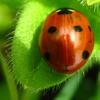 mhalachai: (Ladybug)