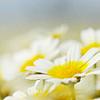 4_a_star: daisies (daisy)