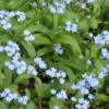 ext_794642: A patch of forget-me-nots. (pic#998658)