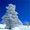 kate: Single snow covered tree against the blue, blue sky (Snow: tree and blue sky)